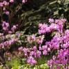 京都嵐山 天龍寺の桜