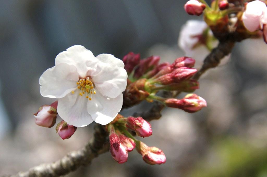 咲き始めのさくら