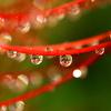 雨の彼岸花