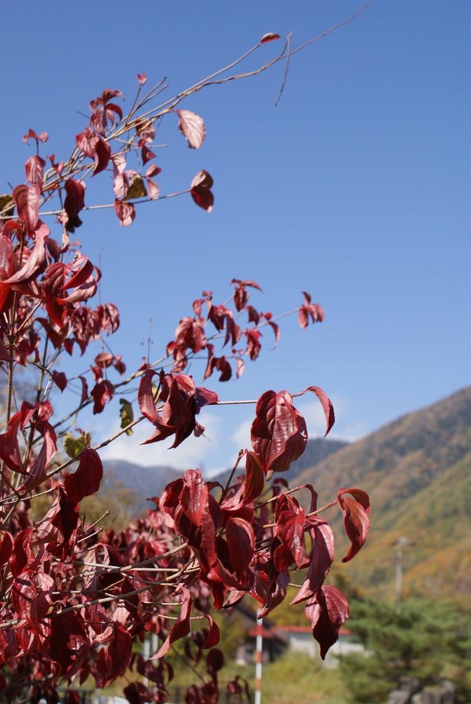 真っ赤な葉と乗鞍高原