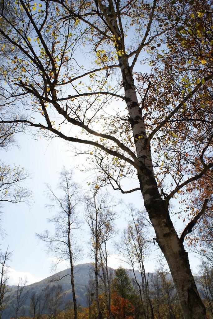 白樺の枝に隠れた太陽