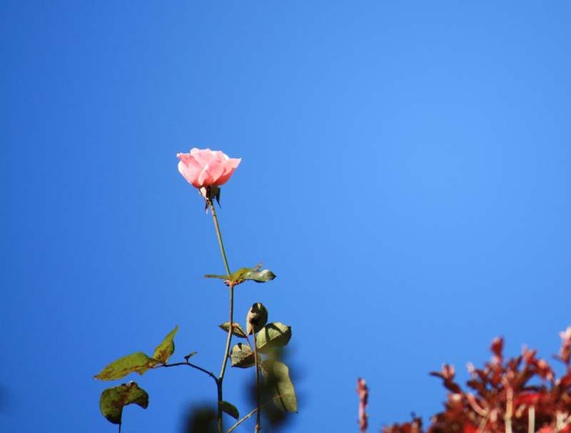 屋根まで延びたバラ