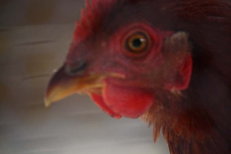 鶏の目は怖いね