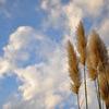 Pampas Grass。