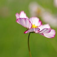 PENTAX PENTAX K10Dで撮影した(秋桜3)の写真(画像)