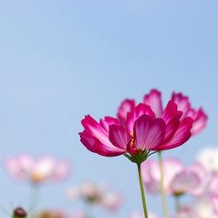PENTAX PENTAX K10Dで撮影した(秋桜1)の写真(画像)
