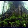 屋久島三神杉の森#1