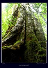 屋久島三神杉の森#2