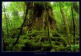 屋久島三神杉の森#3