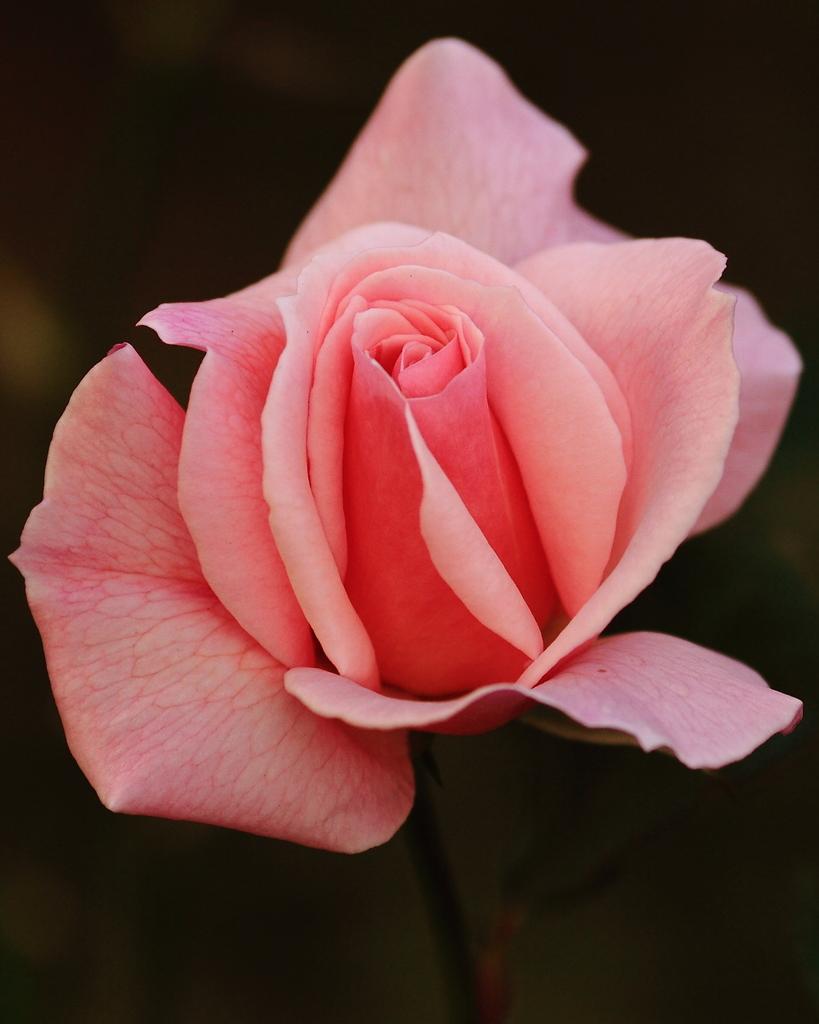 薔薇、一輪