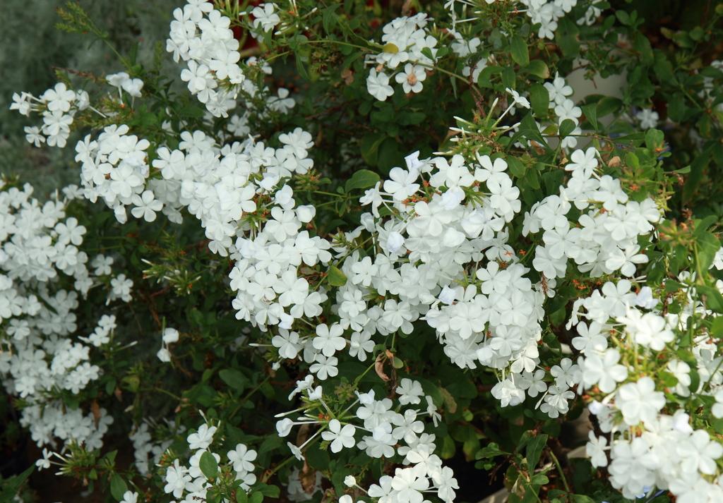 咲き誇る白い花々