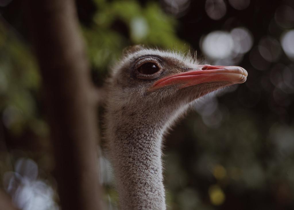 ダチョウ-山口県徳山動物園