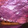 桜色に染まれ!