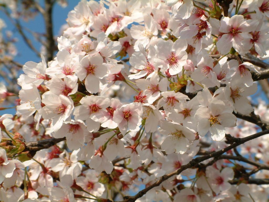 岸渡川 桜