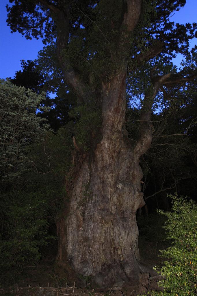 夜の縄文杉