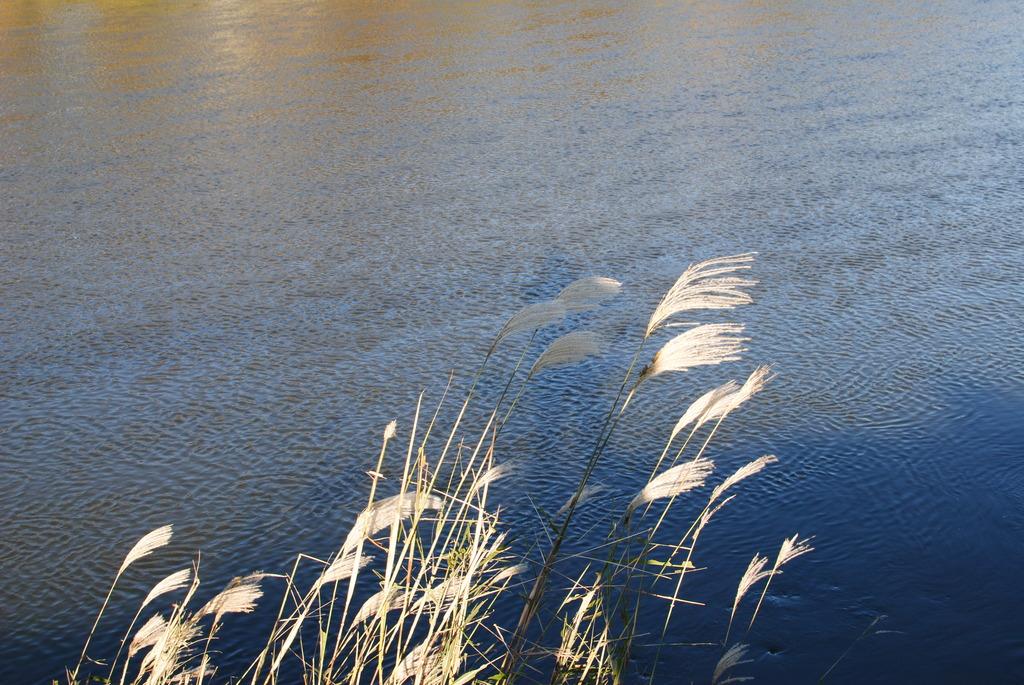 川辺のススキ
