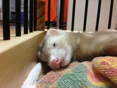 琥珀 寝顔が(´◦ω◦`)