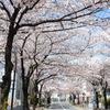 桜の下を潜りぬけて