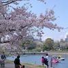 2010 桜 満開