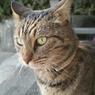 SIGMA SIGMA DP2で撮影した動物(猫(祭りの後))の写真(画像)
