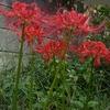 庭の彼岸花3