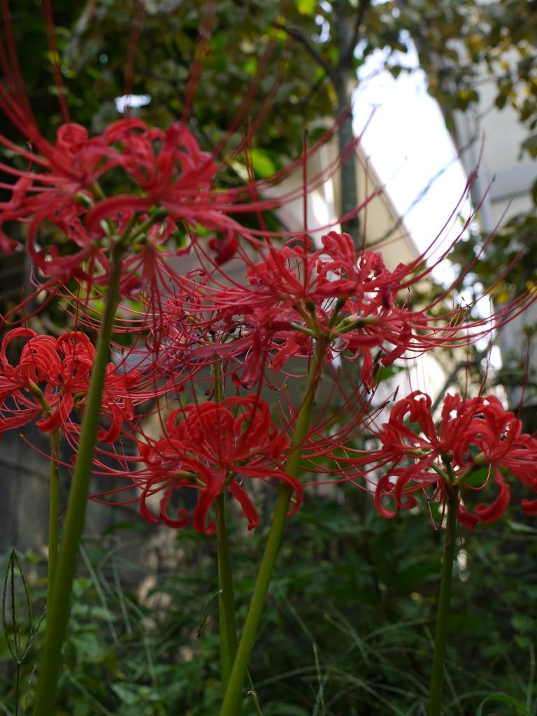 庭の彼岸花5