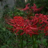 庭の彼岸花4