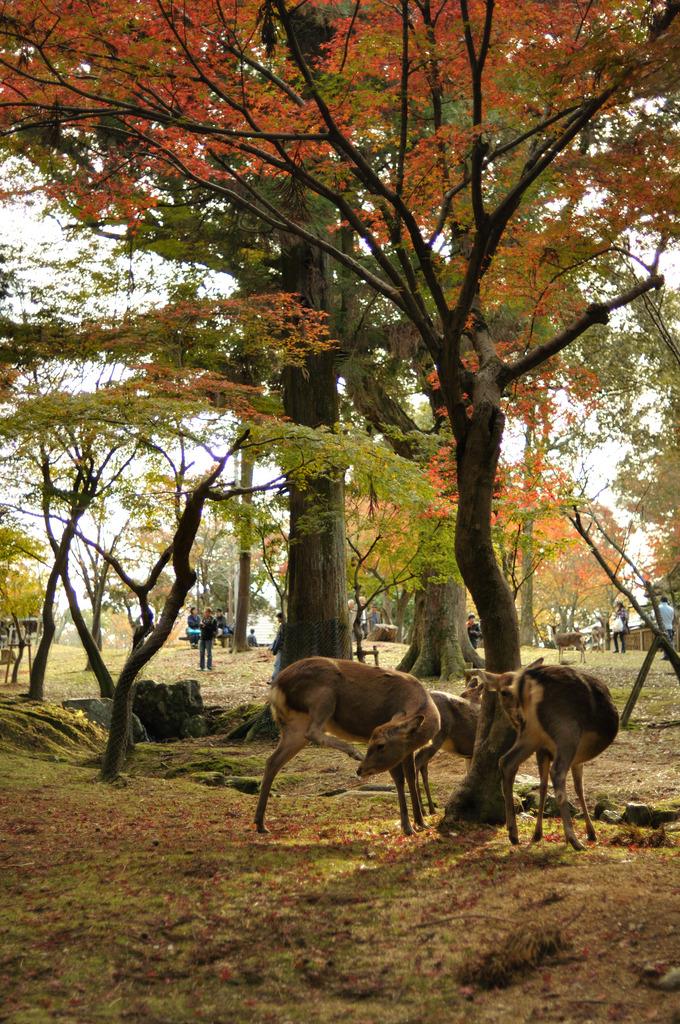 鹿の紅葉狩り
