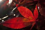 露帯びる紅葉~透過~