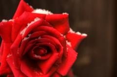 Rose of snow ~紅~