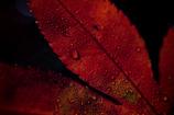 露帯びる紅葉