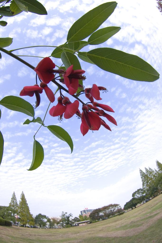 秋空のアメリカデイゴ