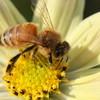 ミツバチ1