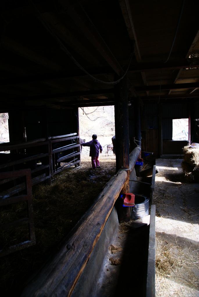 パドック(野外運動場)へ牛を出す母