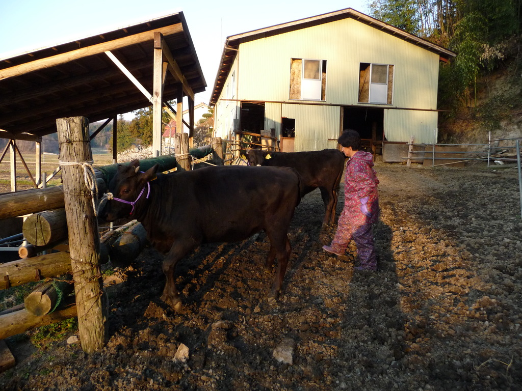 子牛を車に乗せる準備をしている母