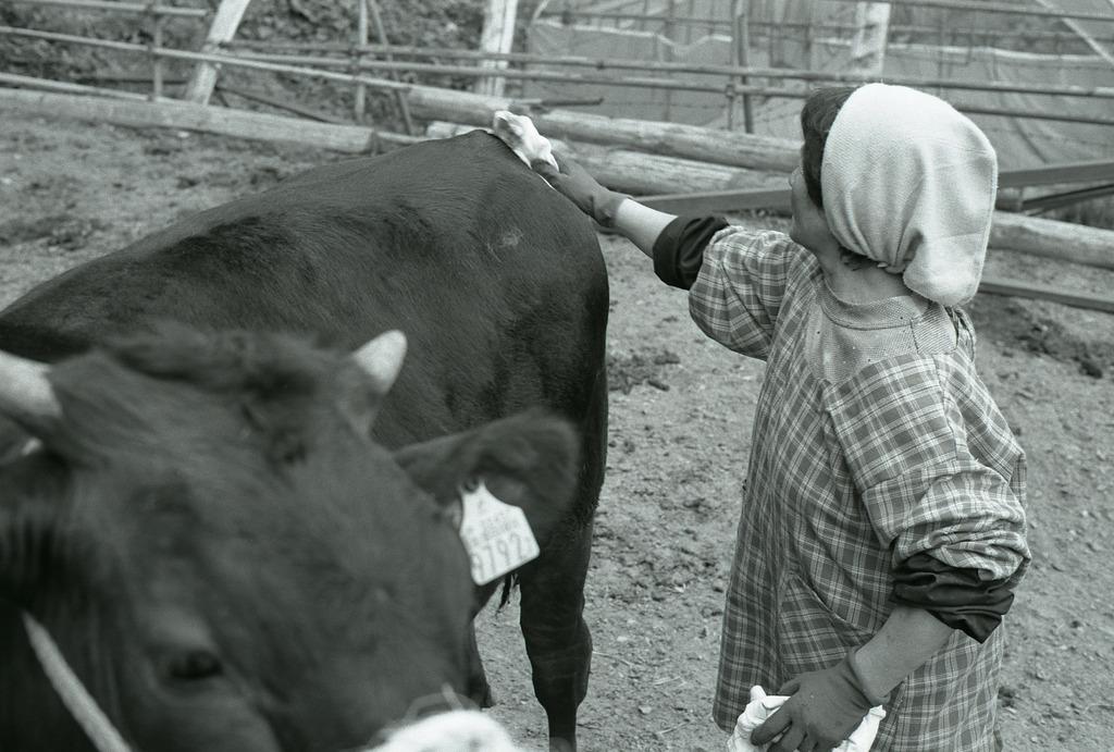 セリ前に牛を拭いてあげる母