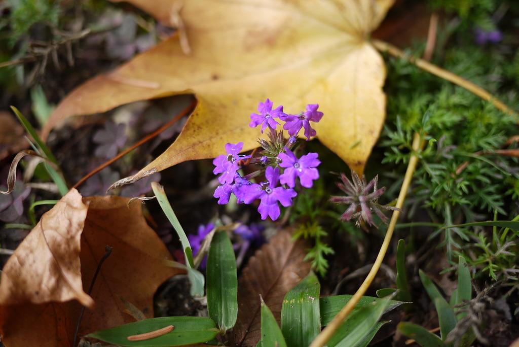 晩秋の花その2