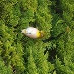 OLYMPUS E-520で撮影した動物(メジロ初ゲット〜って・・・・汗)の写真(画像)