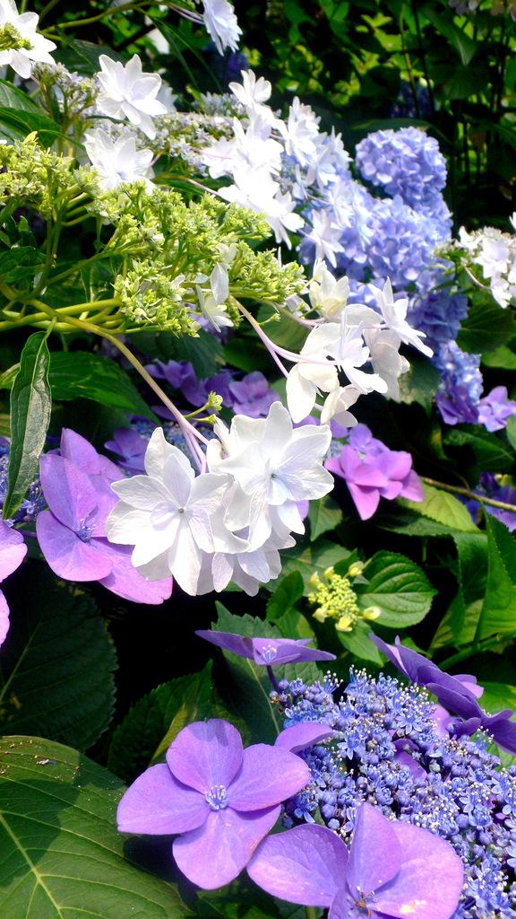 2009.06.14 - あじさい祭り in 豊島園 - 0004