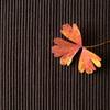オダマキの葉