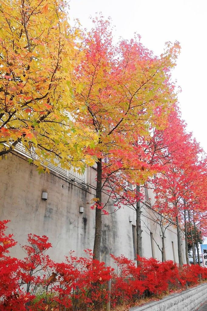 秋の街路樹-2017