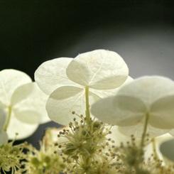 SONY DSLR-A200で撮影した植物(紫陽花・・・2008)の写真(画像)