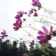 SONY DSLR-A200で撮影した植物(コスモス-2010)の写真(画像)