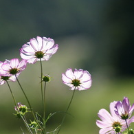 SONY DSLR-A200で撮影した植物(コスモス2010-2)の写真(画像)