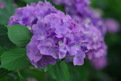 『紫陽花 奈良』