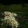 『白の彼岸花』
