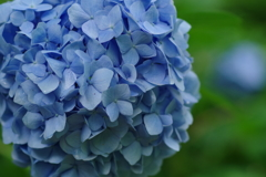 矢田寺の紫陽花2