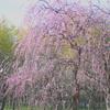『万博記念公園 枝垂れ梅 2』