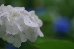 矢田寺の紫陽花1