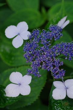 矢田寺の紫陽花3